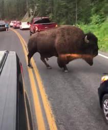 Buffalo spares mans life at Yellowstone National Park
