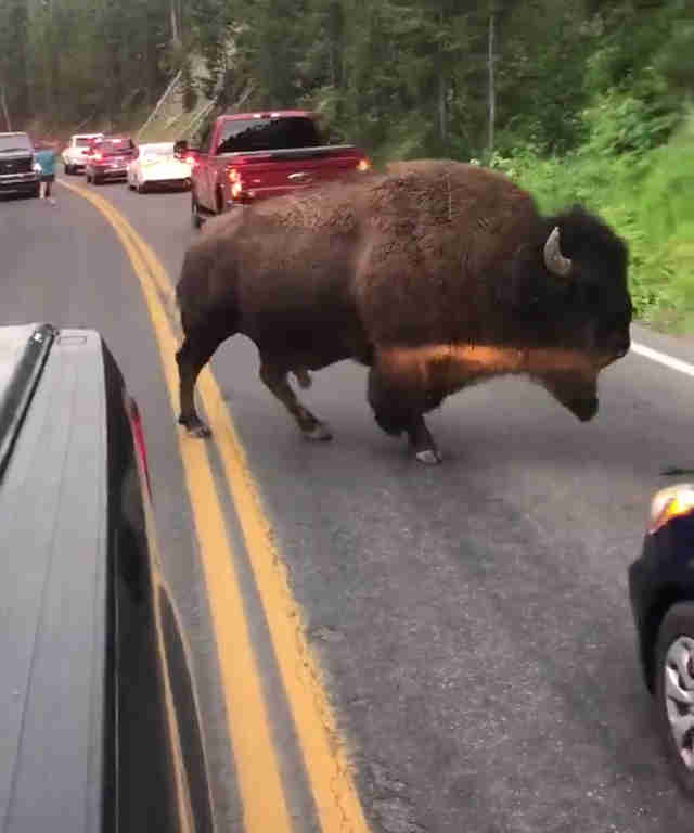 Buffalo spares mans life at Yellowstone National Park