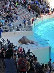 Emaciated walrus at Marineland
