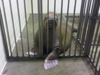 Smooshi the walrus in a backstage cage
