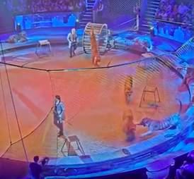 tiger lion attack circus russia