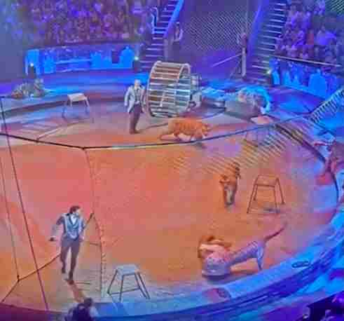 lion tiger circus attack