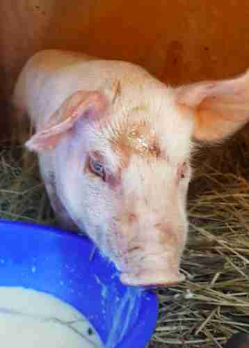 pig rescue piglet colorado