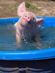 piglet rescue colorao