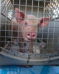 piglet rescue colorado