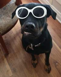 Dog with pronounced underbite and sunglasses