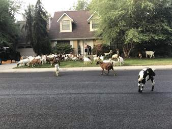 goat takeover idaho