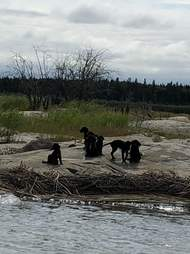 Puppies stranded on an island in northern Manitoba
