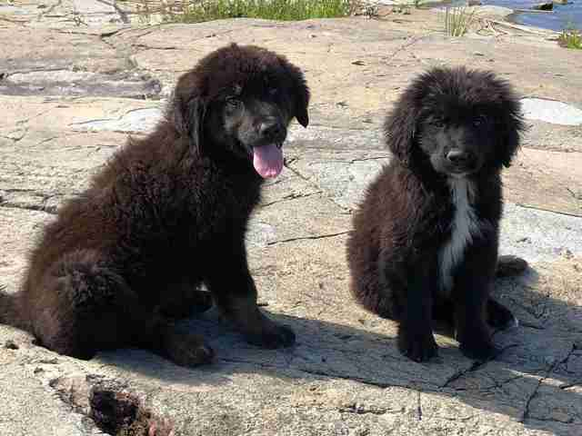 Two of the Gilligan's Island puppies