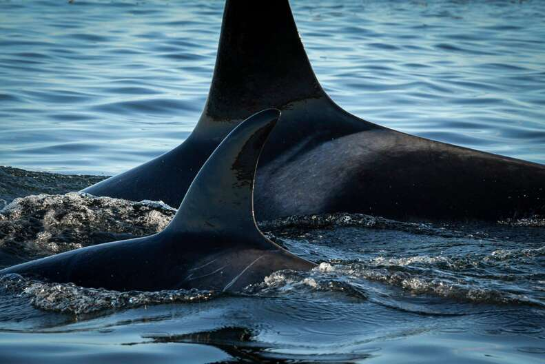 J50 swimming close to her mom
