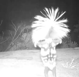 Spotted skunk caught on hidden wildlife cam doing a little dance