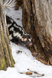 Spotted skunk in the wild