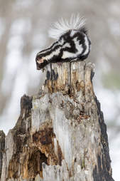 Spotted skunk on tree trunk