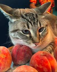Ozzy the cat resting his head on a peach