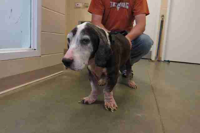 Old basset hound at city shelter