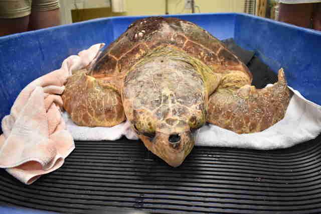 Sea turtle with red tide poisoning