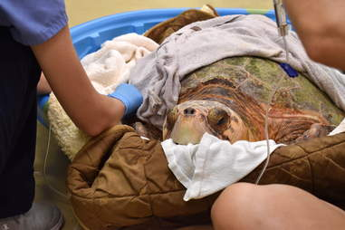 Sea turtle at rescue center for red tide poisoning