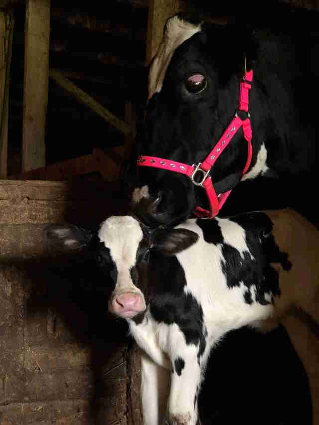 Cow and calf saved from dairy farm