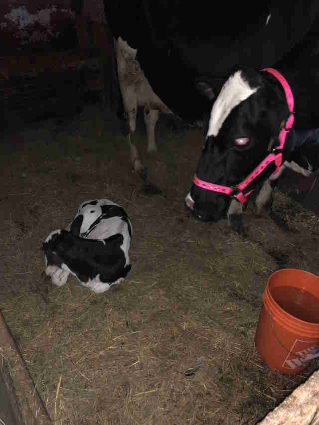 Cow and calf rescued from dairy farm