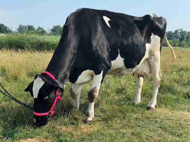 Blind cow saved from dairy farm