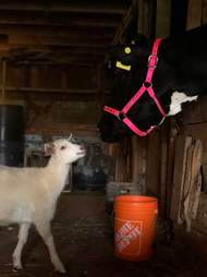 Blind cow meets new friends at sanctuary