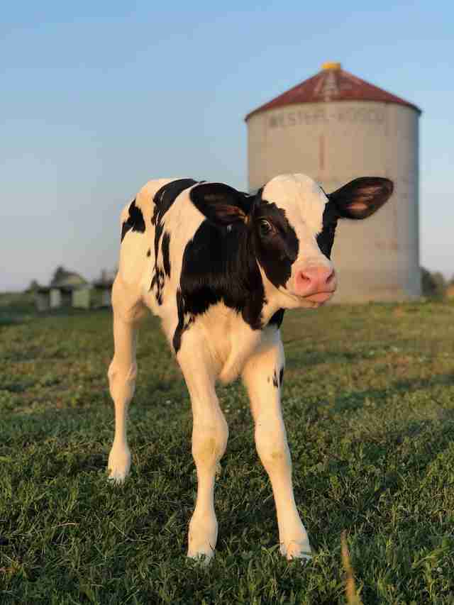 Calf saved from dairy farm