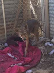 Coyote after recovering from mange