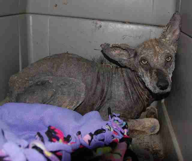 Coyote with bad case of mange