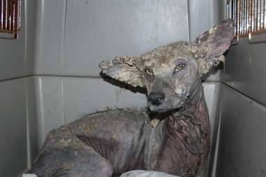 Wild coyote with bad case of mange