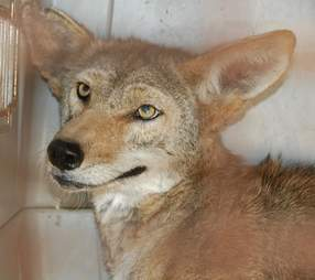 Coyote once he recovered from mange