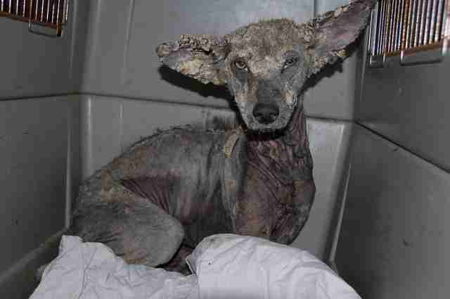 Sick coyote with bad case of mange