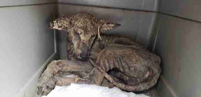 Sick coyote with mange in kennel