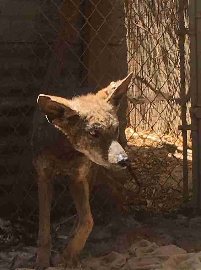 Coyote recovering from mange