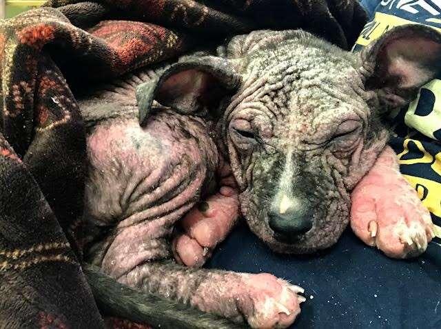 Sick puppy with mange