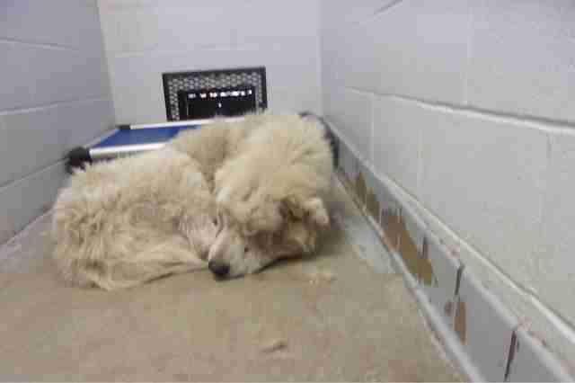 Woody, a Great Pyrenees, in a North Carolina shelter