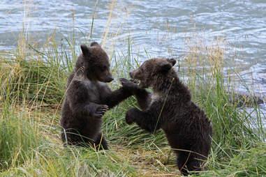 Bear cubs playing in Alaska