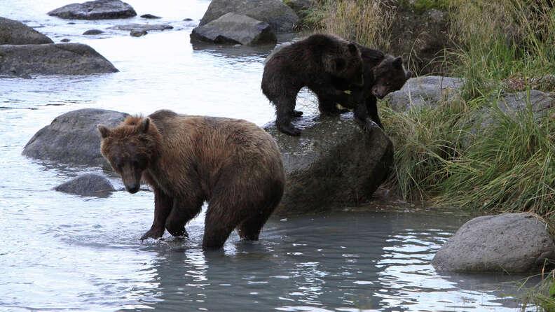 Bear family in Alaska