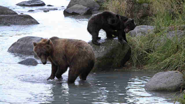 Bear family in Alaska