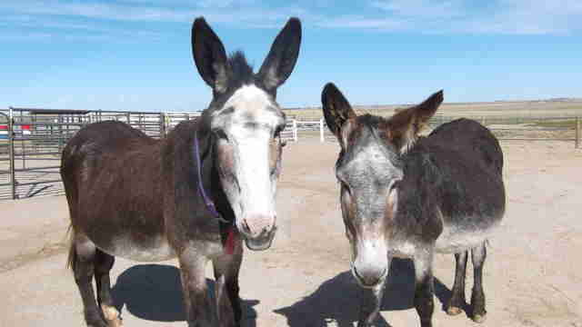 donkeys saved from slaughter become best friends