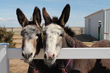 donkeys saved from salughter become best friends