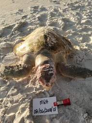 A young female Kemp's ridley sea turtle