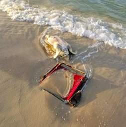 Sea turtle tangled in a beach chair on Alabama beach