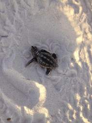 Sea turtle hatchling makes his way to the water