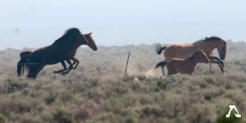 Horses leaping over barbed wire fence