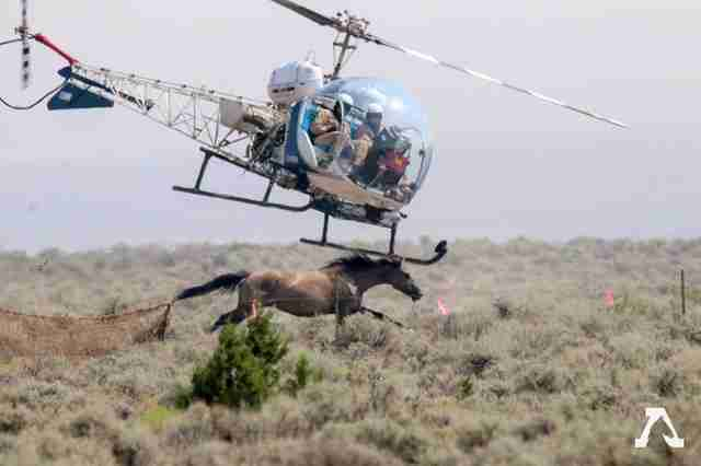 Helicopter chasing wild horse