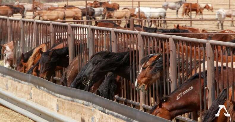 Wild horses in a short-term holding facility