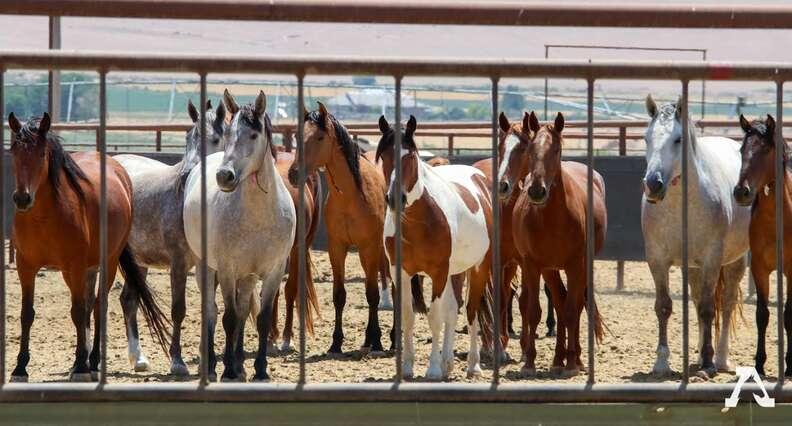 Wild horses in short term holding facility