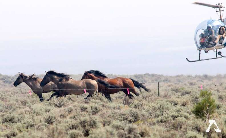 Wild horses in holding facility
