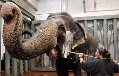 elephant solitary canada