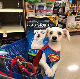 poodle rescue dog texas